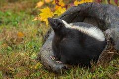 臭鼬在日志鼻子的恶臭恶臭在天空中 免版税库存图片