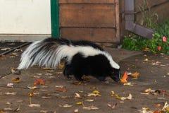 臭鼬(恶臭恶臭)在家附近走 库存照片
