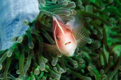 臭鼬Clownfish 免版税库存照片