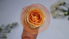 至善至美的花桃子罗斯 库存照片