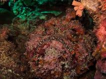 致命的石鱼极大的堡礁澳洲 图库摄影