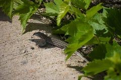 舌头与蜥蜴的星期二 免版税库存图片