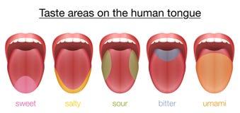 舌头甜咸酸苦涩Umami口味 向量例证