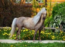 年轻舍德兰群岛ponieson一个开花的草甸 库存图片