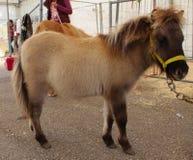舍特兰群岛小马家畜 免版税库存照片