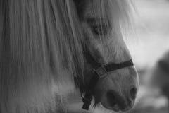 舍特兰群岛小马画象 库存照片