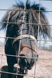 舍特兰群岛小马 免版税库存图片