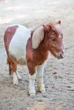舍特兰群岛小马2 免版税图库摄影