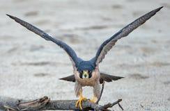 舒展他的翼的红色被担负的鹰在离开前在麦克格雷斯在维特纳加利福尼亚美国的国家公园海滩 库存图片