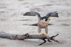 舒展他的翼的红色被担负的鹰在离开前在麦克格雷斯在维特纳加利福尼亚美国的国家公园海滩 图库摄影