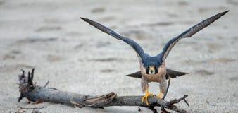 舒展他的翼的红色被担负的鹰在离开前在麦克格雷斯在维特纳加利福尼亚美国的国家公园海滩 库存照片