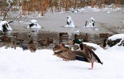 舒展他的翼的这只鸭子,当准备飞行到更加温暖的土地时 免版税库存照片