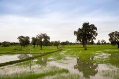 舒展作为眼睛天际的金黄稻田 泰国是米领域土地总是做了 图库摄影