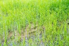 舒展作为眼睛天际的金黄稻田 泰国是米领域土地总是做了 免版税库存照片