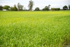 舒展作为眼睛天际的金黄稻田 泰国是米领域土地总是做了 免版税库存图片