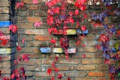 舒展在砖墙下的五颜六色的秋天树藤 免版税库存照片