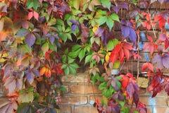 舒展在砖墙下的五颜六色的秋天树藤 库存图片
