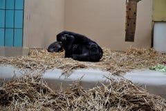 舒展在秸杆的黑猩猩看起来滑稽 免版税库存图片