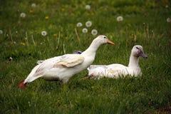 舒展在草的幼小鸭子 免版税库存图片