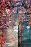 舒展在铁篱芭和砖墙下的五颜六色的秋天树藤 库存照片