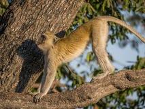 舒展它的在一棵树的黑长尾小猴身体在一个晴天, Chobe NP,博茨瓦纳,非洲 免版税库存图片
