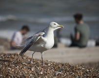舒展它的翼的一只幼小海鸥 免版税图库摄影