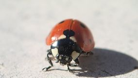 舒展它的翼的七个小点瓢虫,当清洗它的腿时 影视素材