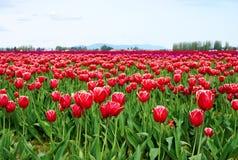 舒展对天际的美丽的红色和白色郁金香开花的浩大的领域 库存照片