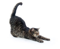 舒展平纹的逗人喜爱的小猫 免版税库存照片
