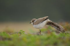 舒展新矮小只圈状的珩科鸟 免版税库存照片