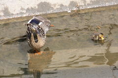 舒展母亲低头用她的鸭子在水中 免版税库存图片