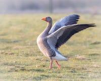 舒展翼的灰雁在阳光下 免版税库存照片