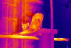 舒展自计温度计的猫 免版税库存照片