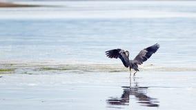 舒展他的翼的苍鹭在皮吉特湾的关键半岛的Joemma海滩在塔科马华盛顿附近 免版税库存照片