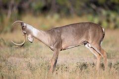 舒展他的脖子的白尾鹿大型装配架 免版税库存图片