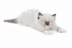 舒展Ragdoll的小猫唤醒和 免版税库存照片