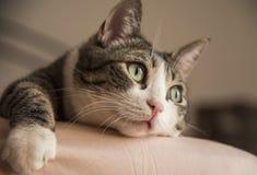 舒适地说谎在床上的可爱的家庭猫 免版税图库摄影