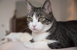 舒适地说谎在床上的可爱的家庭猫 免版税库存图片