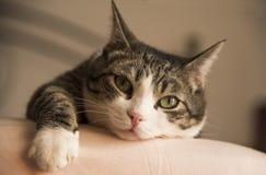 舒适地说谎在床上的可爱的家庭猫 库存图片