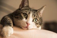 舒适地说谎在床上的可爱的家庭猫 免版税库存照片