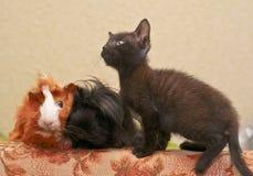 舔一间红色试验品的白色鼻子的黑小猫 库存照片