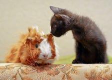 舔一间红色试验品的黑小猫 图库摄影