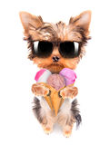 舔与冰淇凌的狗 免版税图库摄影