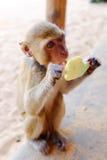 舔冰淇凌的猴子 免版税库存照片