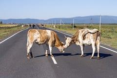 舔另一头母牛的一头母牛在路的夏天在一个山区 免版税库存照片