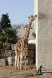 舔墙壁的长颈鹿 免版税库存照片