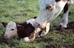 舔她新出生的小牛的母牛 库存图片