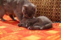舔她的在一张红色手工制造地毯的猫小猫 库存照片