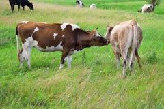 舔她的小牛的母亲母牛 免版税库存照片