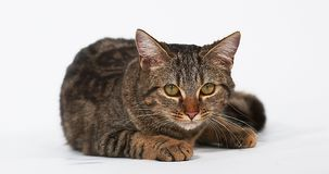 舔它的剁的布朗平纹家猫反对白色背景 影视素材